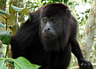 Black Howler Monkey Tour
